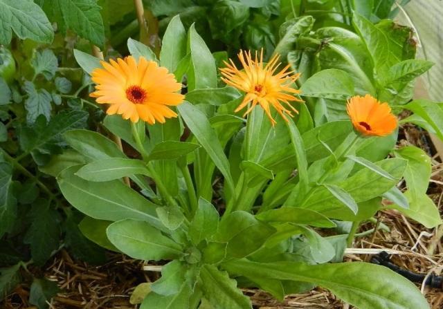 Календула аптечная: описание растения с фото