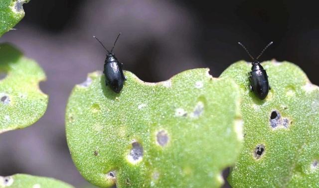 Причины появления блошек на капусте