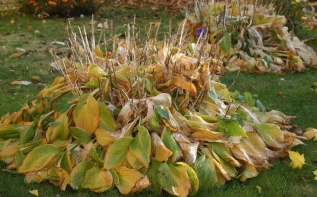 Мульча своими руками из опавшей листвы