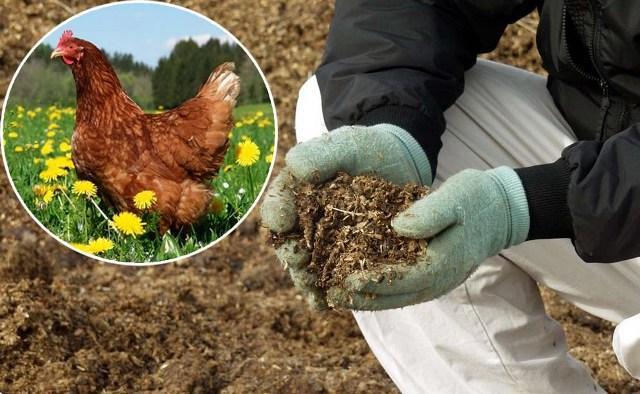 Куриный помет - удобрение для огорода