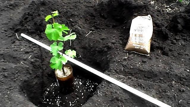 Что добавить в лунку при посадке винограда