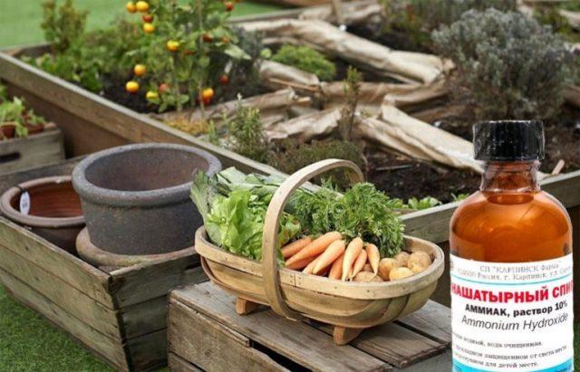 Нашатырный спирт как удобрение для растений в огороде