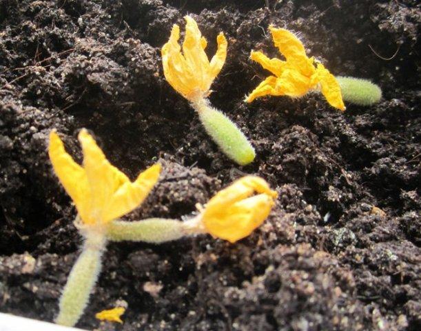 желтеют и опадают завязи огурцов