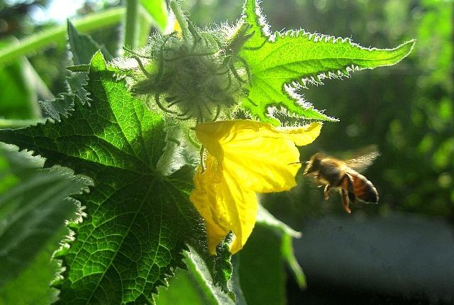 пчела летит к цветку огурца
