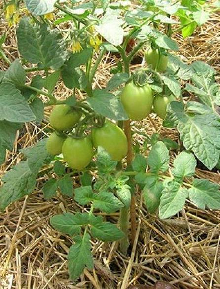 Желтеют листья у томатов: что делать