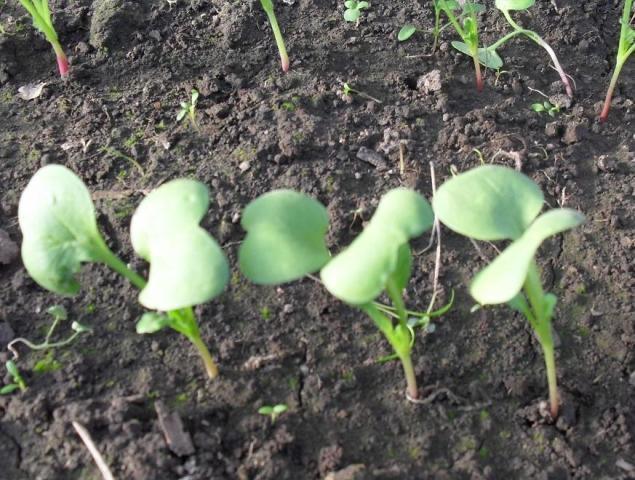 Горчица белая как сидерат весной