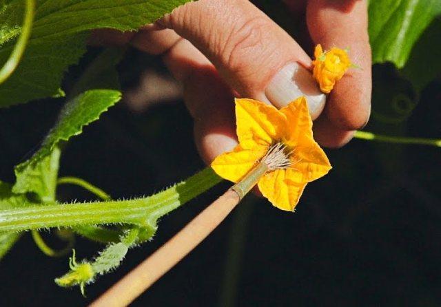 опыление цветов огурца кисточкой