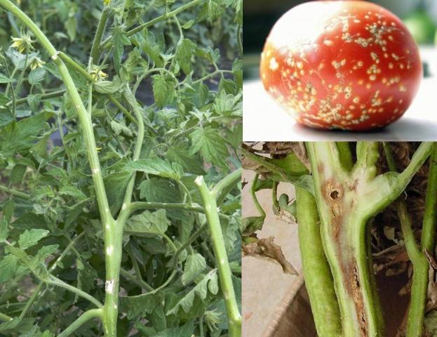 Бактериальный рак у томата