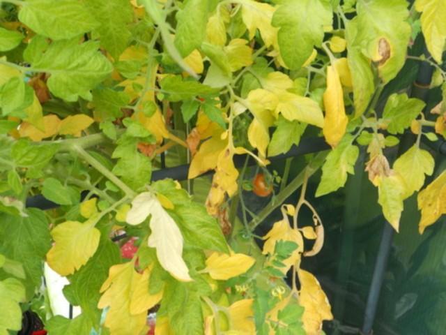 Желтеют листья у томатов: что делать чем обработать