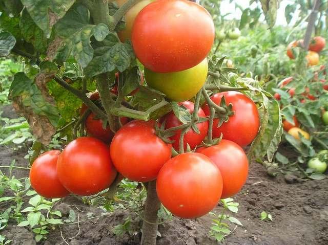 Как бороться с фитофторой на томатах в открытом грунте