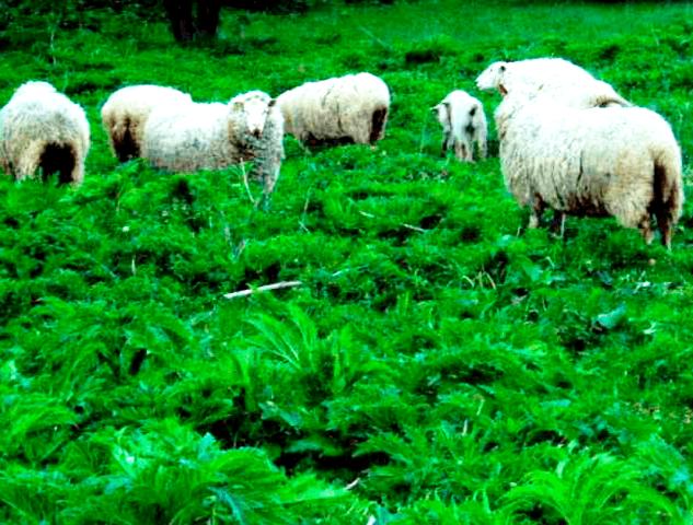 как вывести с участка: выпас овец
