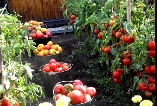 Как формировать помидоры в теплице.