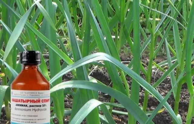 Нашатырный спирт как удобрение для лука и чеснока