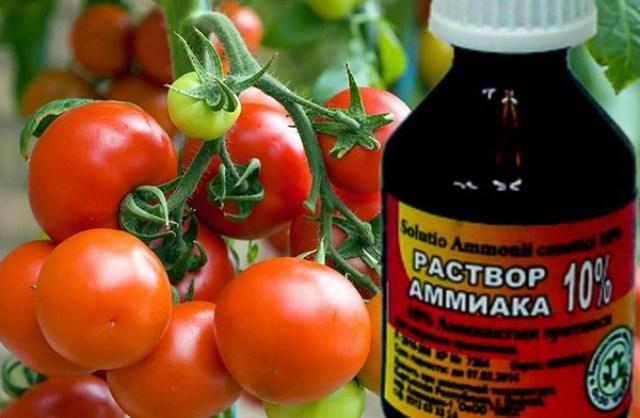 Нашатырный спирт как удобрение для помидоров