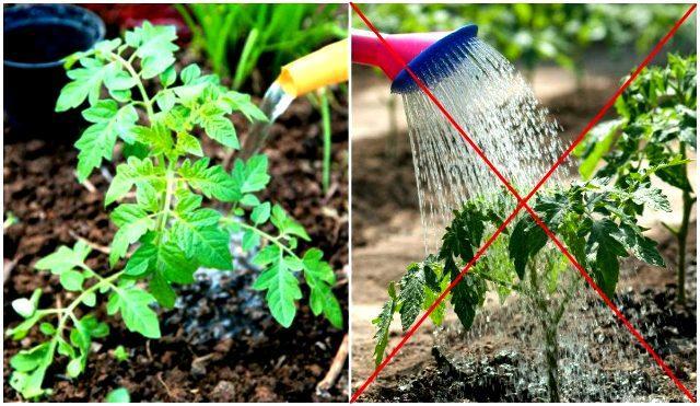 неправильный полив томатов в теплице