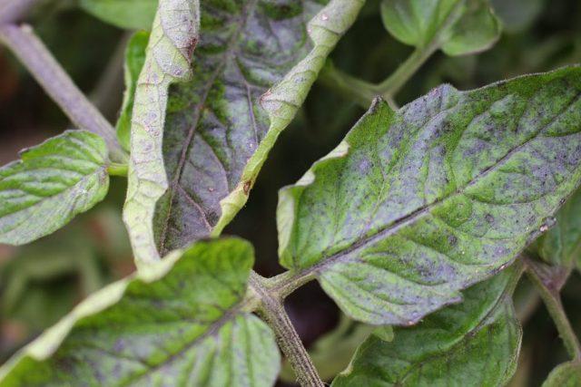 нехватка фосфора томатам