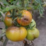 Фитофтороз на помидорах: как бороться
