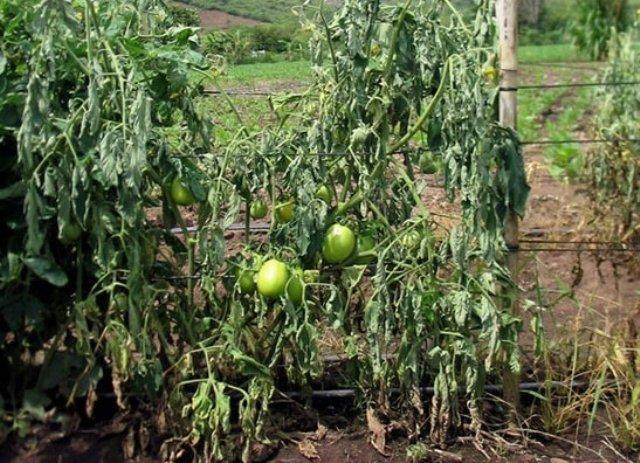 фузариоз томатов в теплице