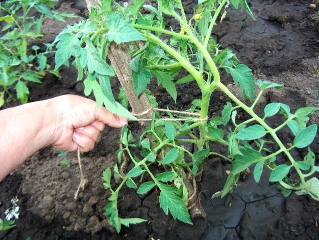 Как формировать помидоры в теплице