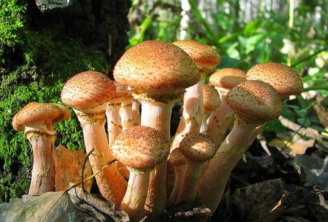 Грибная икра из вареных грибов: самый вкусный рецепт из опят
