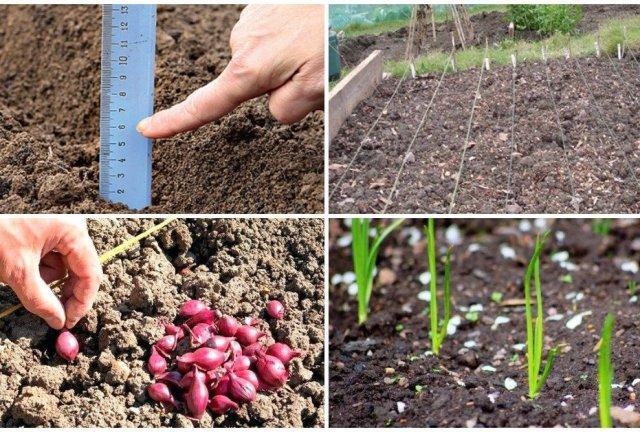 Как посадить правильно лук в зиму в разных регионах