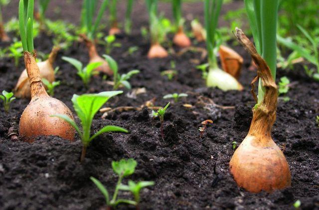 Как посадить правильно лук в зиму
