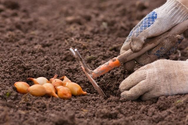 Когда посадить правильно лук в зиму