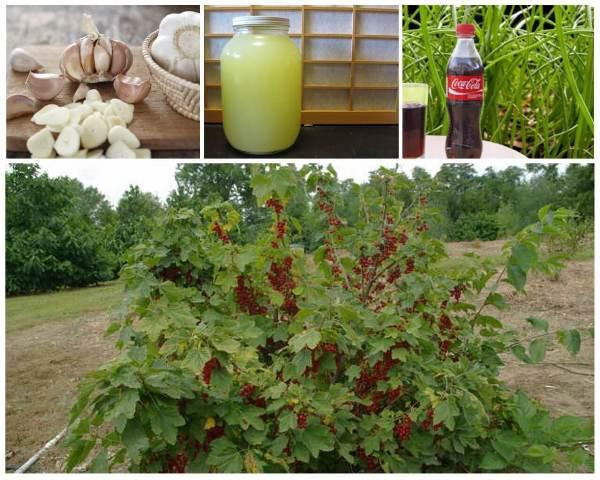 Народные средства для смородины  осенью от вредителей и болезней