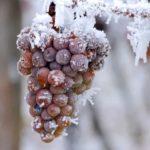 Когда укрывать виноград на зиму