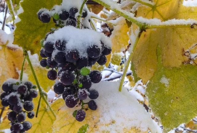 Когда правильно укрывать виноград на зиму
