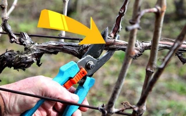 Когда обрезать и укрывать виноград на зиму