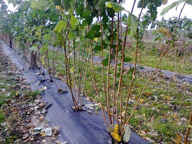 Чем обработать малину осенью