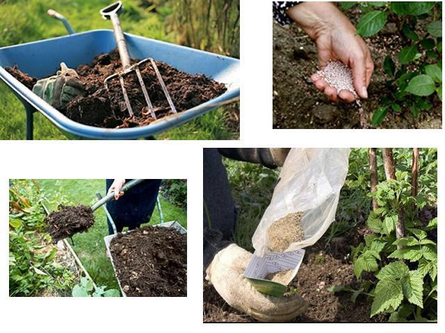 Чем обработать и подкормить малину осенью