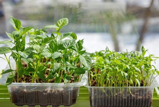 Какую рассаду овощей сажают