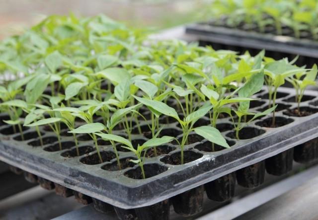 В чем выращивать рассаду: кассеты