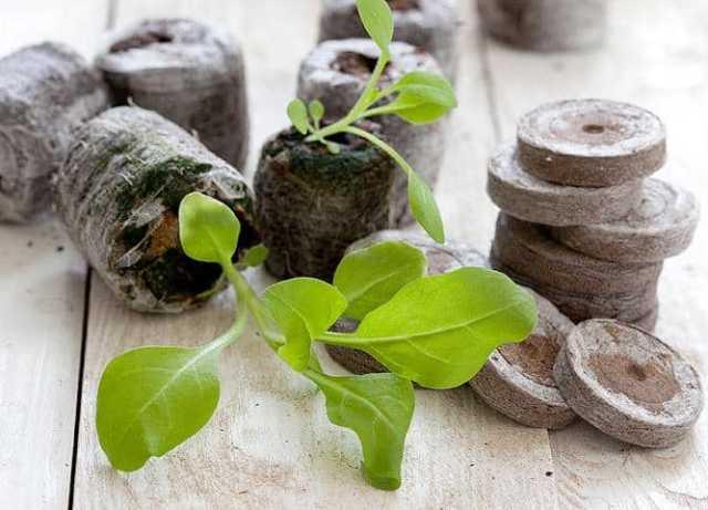 В чем выращивать рассаду: торфяные таблетки