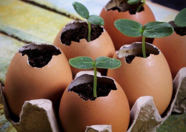 В чем выращивать рассаду: яичная скорлупа