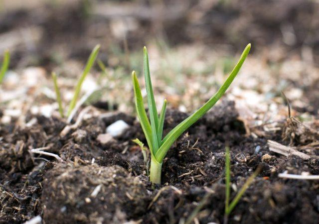 Чем подкормить чеснок весной посаженный под зиму