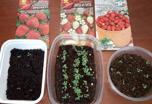 Выращивание земляники в домашних условиях