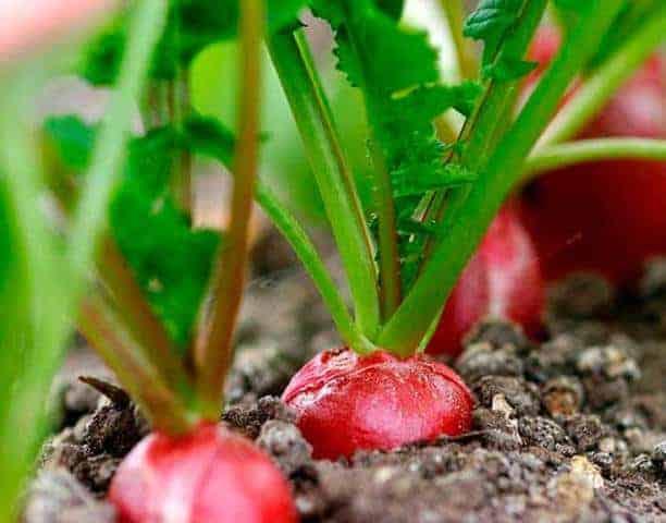 Как посадить редис дома