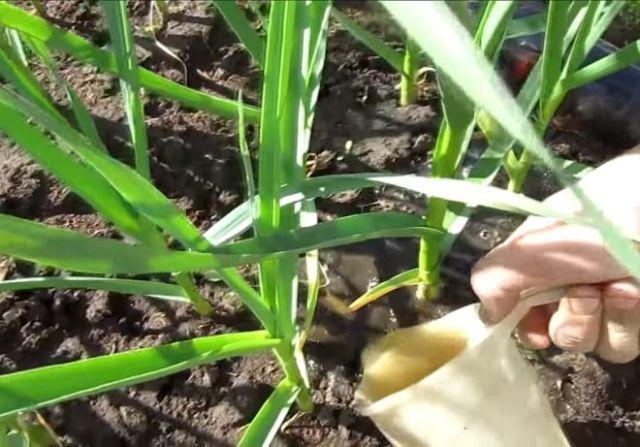 Зачем подкормить чеснок весной посаженный под зиму