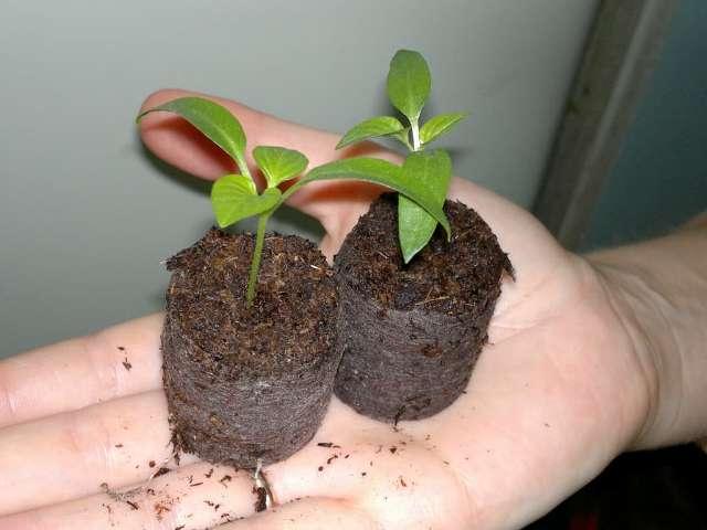 Как выращивать в открытом грунте