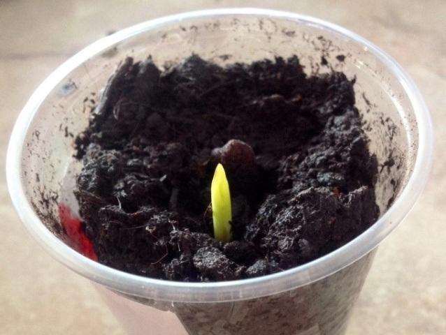 Как посадить финик в домашних условиях