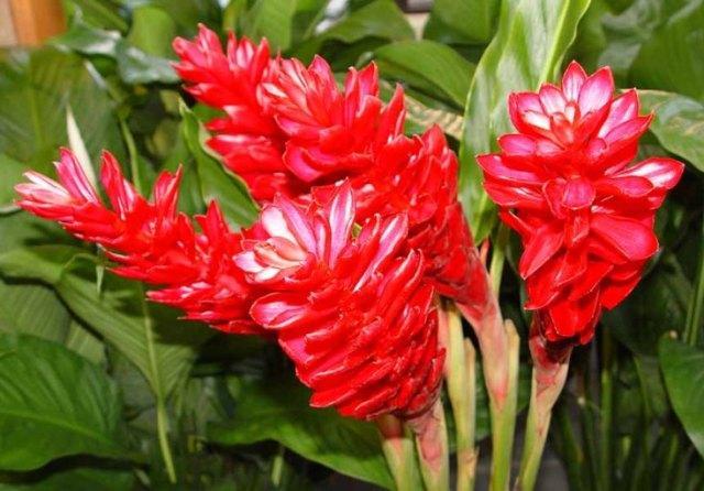 Как цветет из корня купленного в магазине