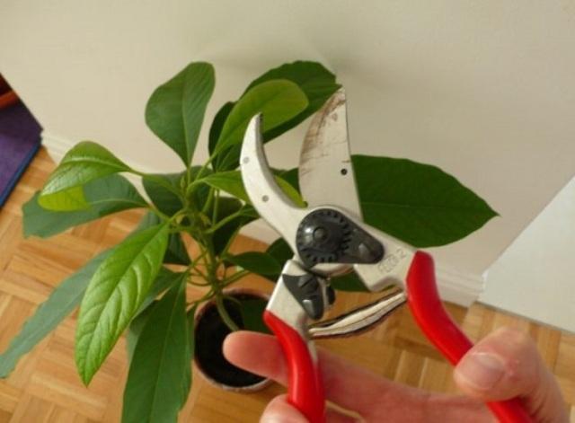 Как формировать авокадо в домашних условиях