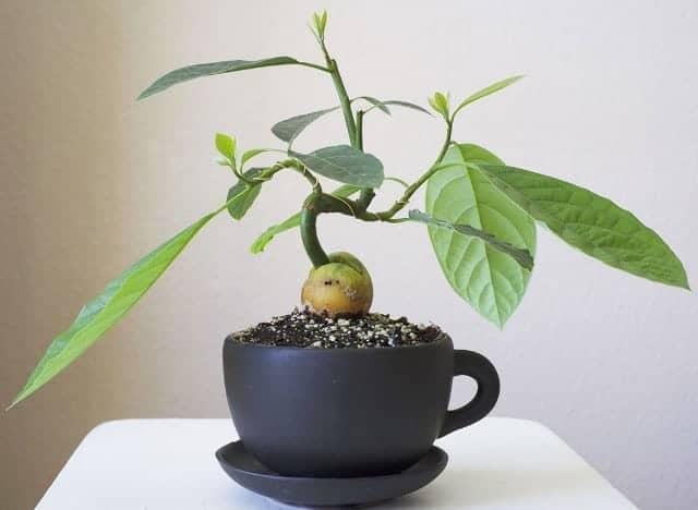 Какой стороной сажать косточку авокадо