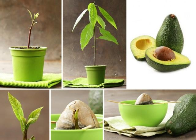Как правильно вырастить авокадо из косточки