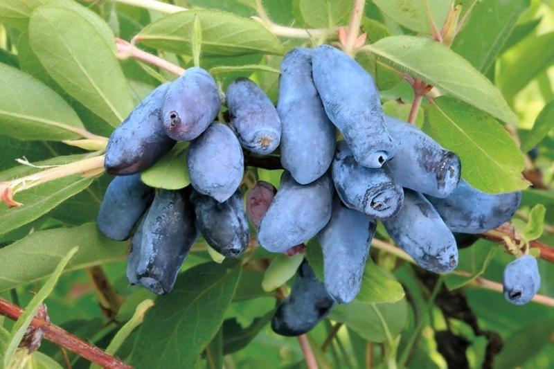 Чем подкормить жимолость весной для хорошего урожая