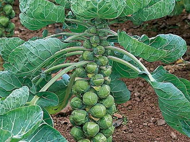 Как выращивать брюссельскую капусту