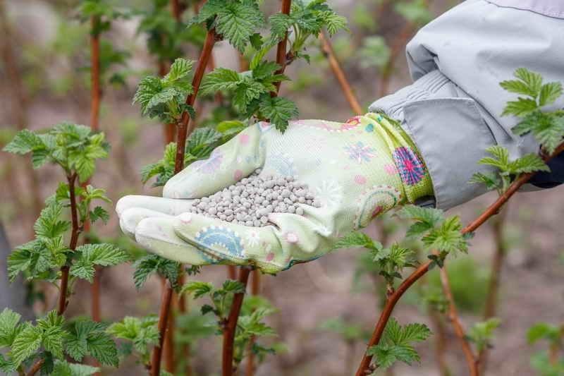 как подкормить малину весной для хорошего урожая